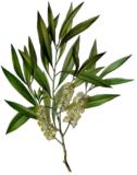 Tea Tree olie 30ml_