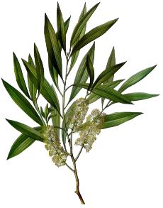 Tea Tree olie 30ml