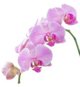 Orchidee olie