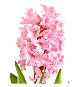 Hyacint olie 10ml