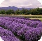 Lavendel Olië 1Liter